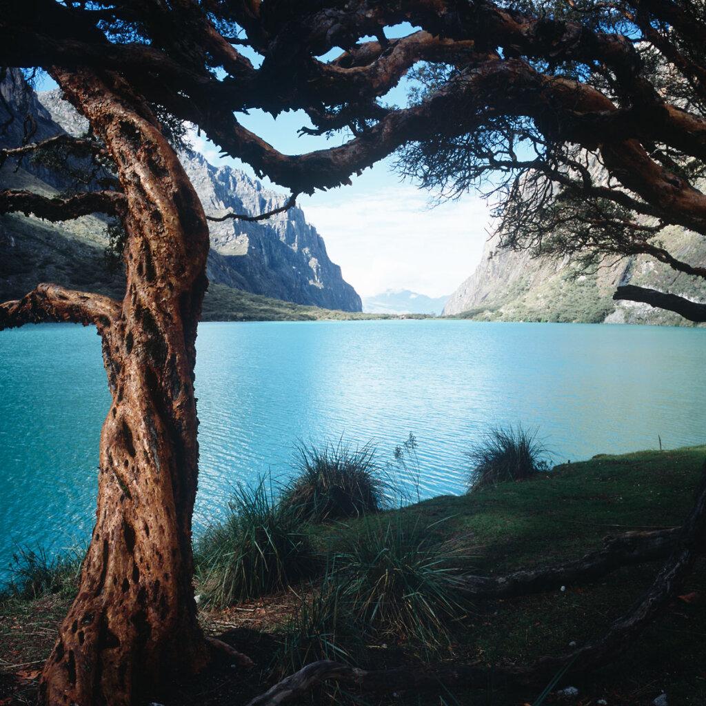 Queñua in front of the Laguna Chinacocha (Laguna Llanganuco)
