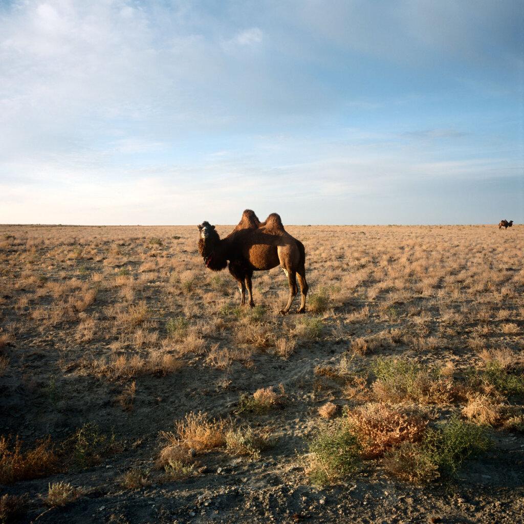 Camel near Kambash Lake