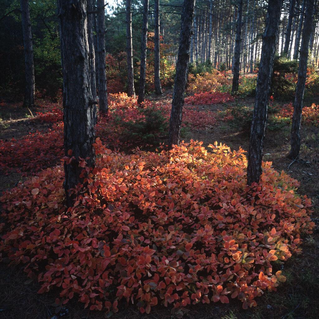 Pine forest near Bakhchysarai