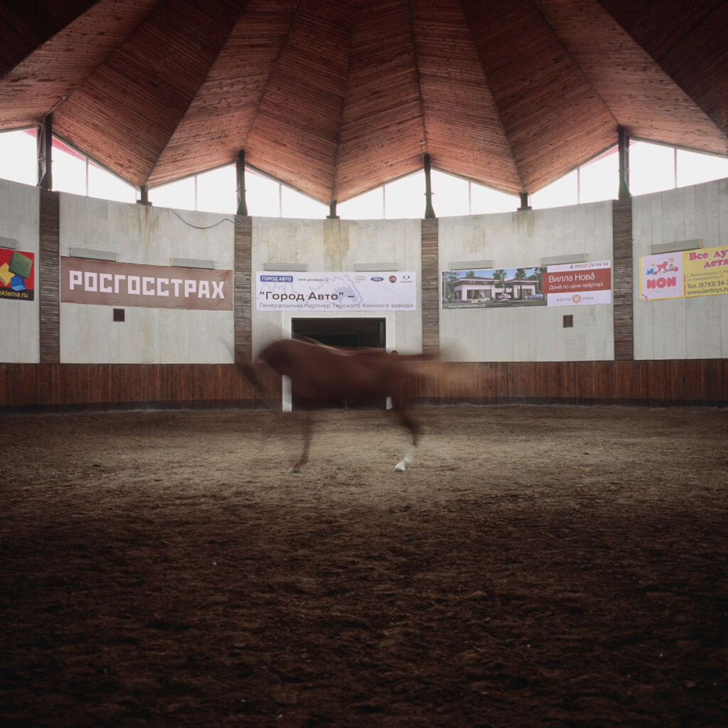 Purebred Arabian horse in the riding arena of Tersk Stud