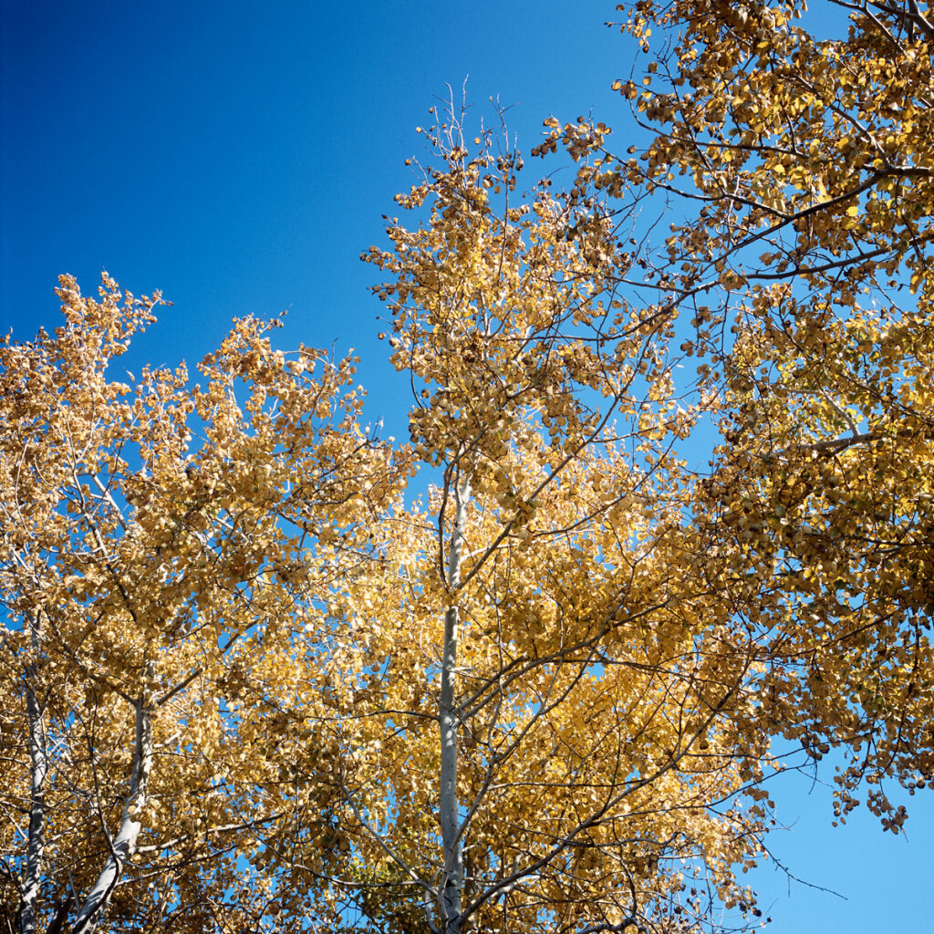 Silver birch beetween Kamyshin and Saratov