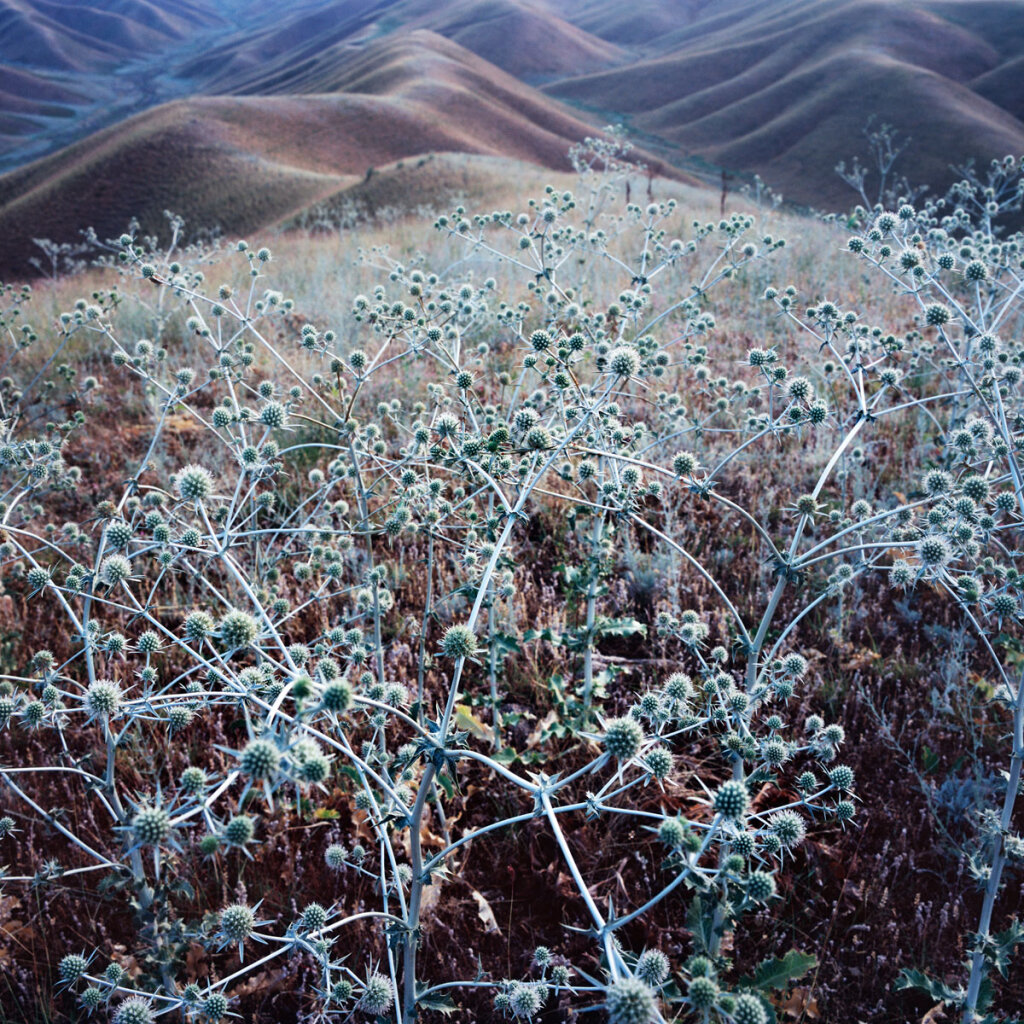 Thistle on the hills above toktogul