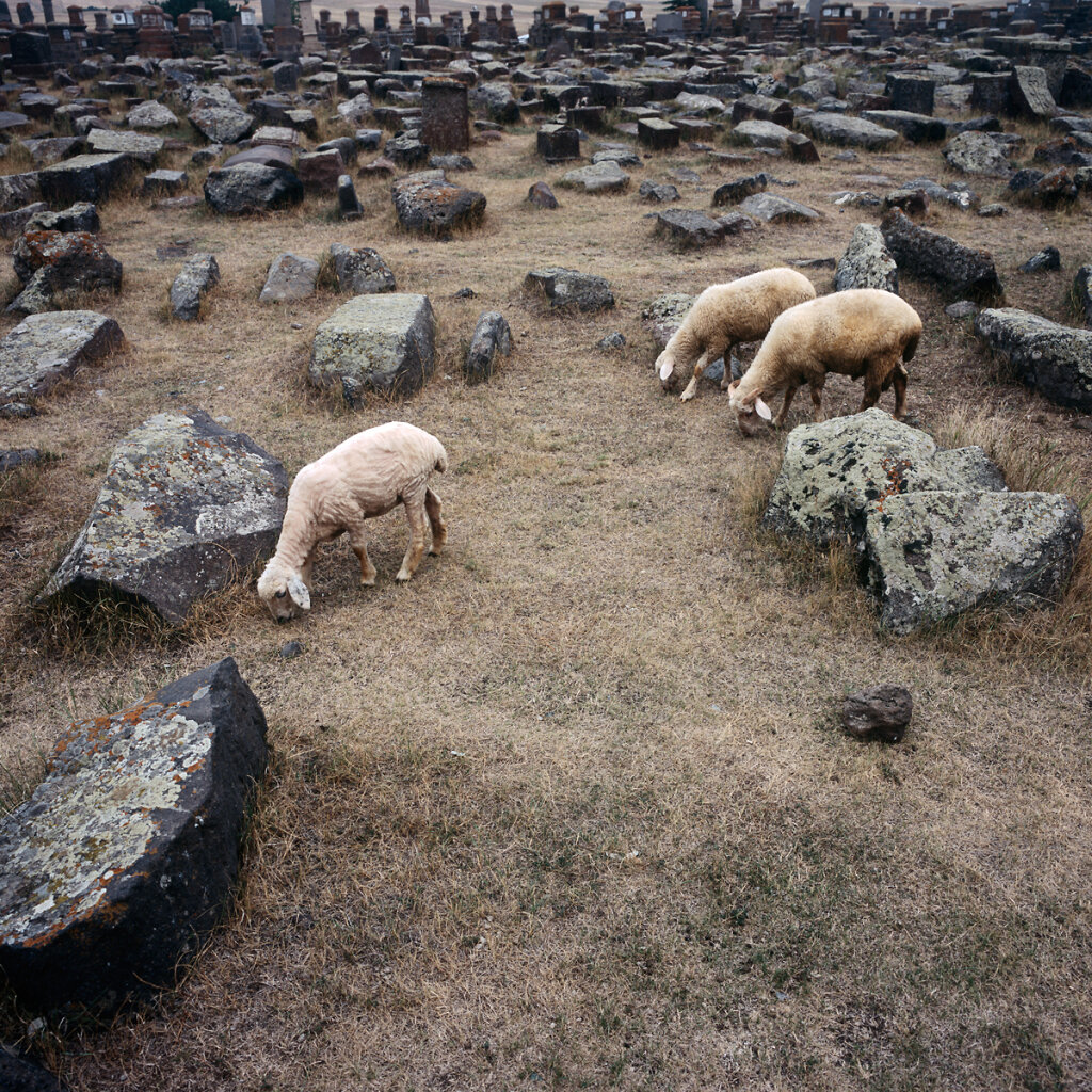 Sheeps grazing in Noratus Cemetery